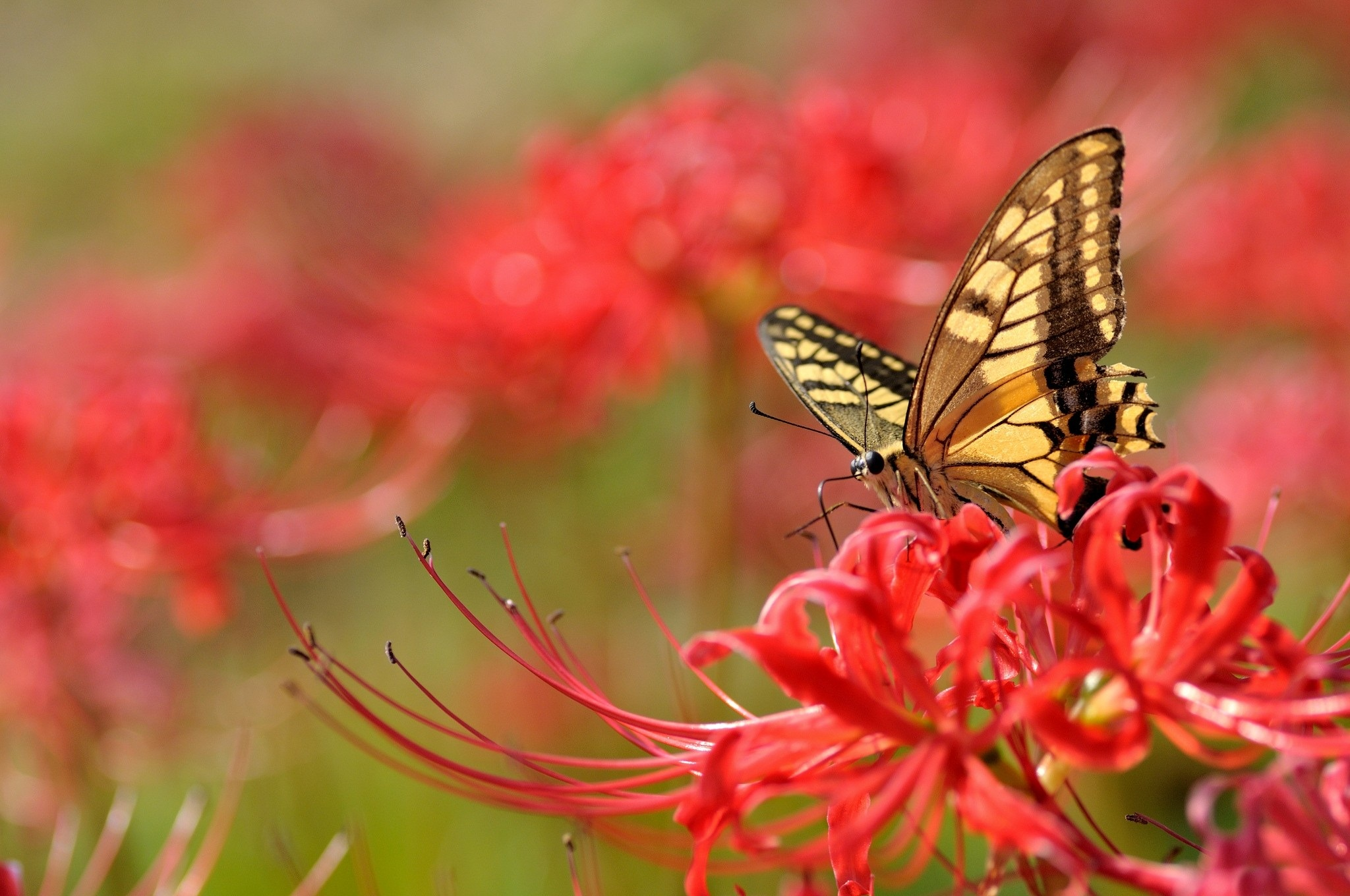 butterfly full hd wallpaper and background image | 2048x1360 | id:385067