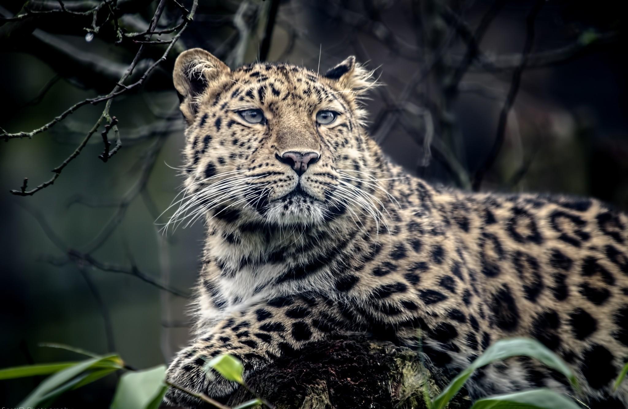 tiger leopard mix