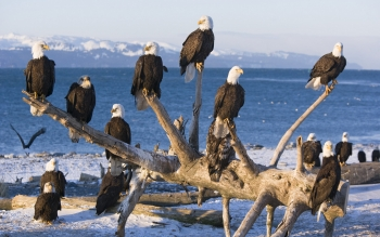 Animal - Bald Eagle Wallpapers and Backgrounds ID : 385259