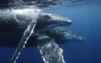 Animal - Humpback Whale Wallpapers and Backgrounds ID : 385386