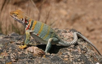 Preview Collared Lizard