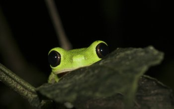 Animal - Tree Frog Wallpapers and Backgrounds ID : 386498
