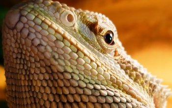 Animal - Lizard Wallpapers and Backgrounds ID : 386537