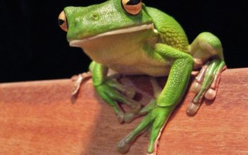 Animal - White-lipped Tree Frog Wallpapers and Backgrounds ID : 386942