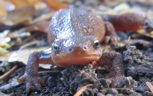 Animal Newt Amphibians Salamanders HD Wallpaper | Background Image