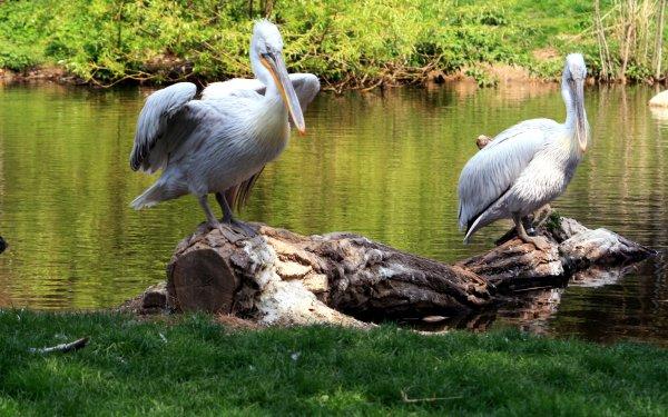 Animal Pelican Birds Pelicans HD Wallpaper | Background Image
