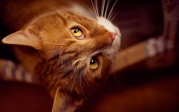 Animalia - Gatto Wallpapers and Backgrounds ID : 387458