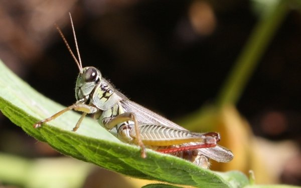 Animal Grasshopper Insect HD Wallpaper | Background Image