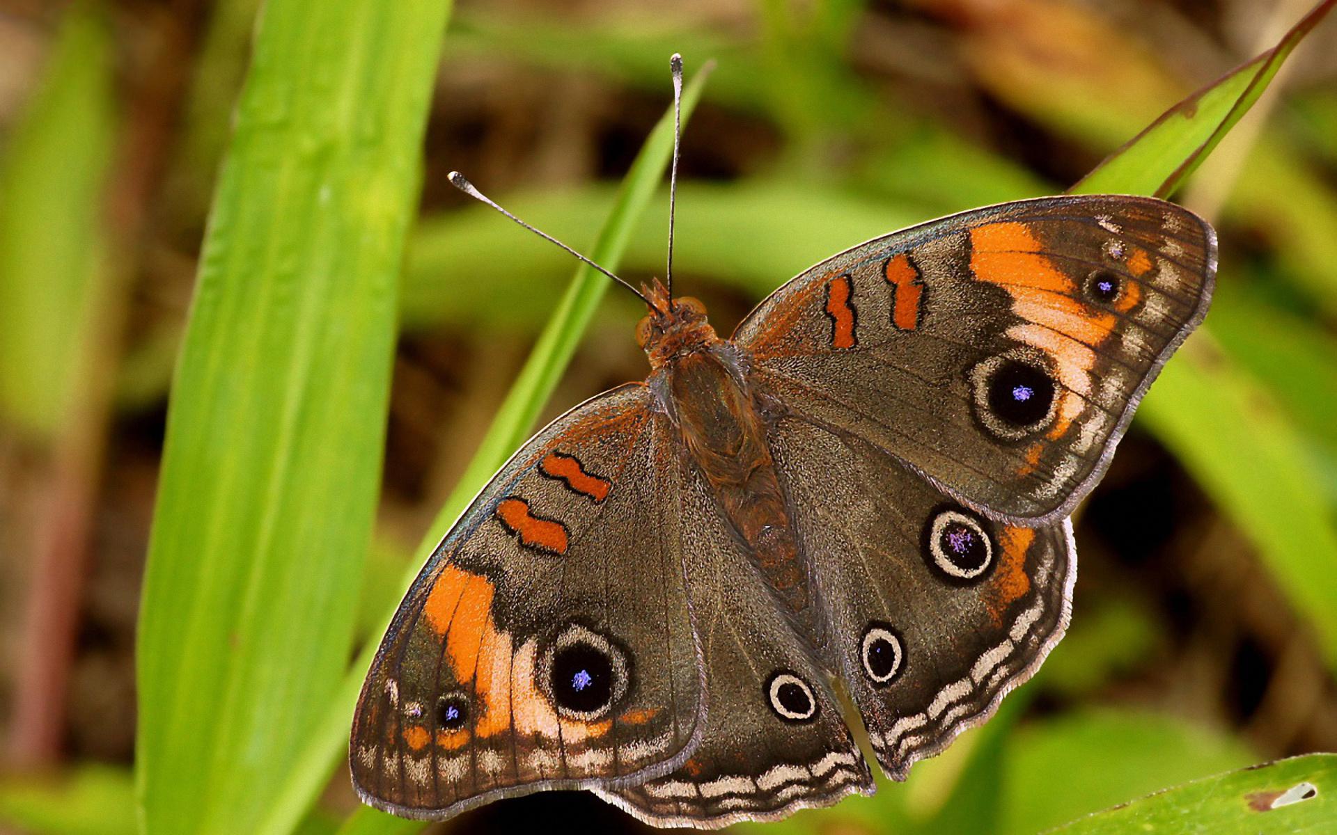 Animal - Butterfly  Wallpaper