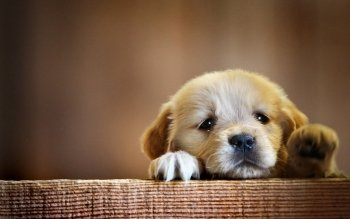 Animal - Puppy Wallpapers and Backgrounds ID : 388815