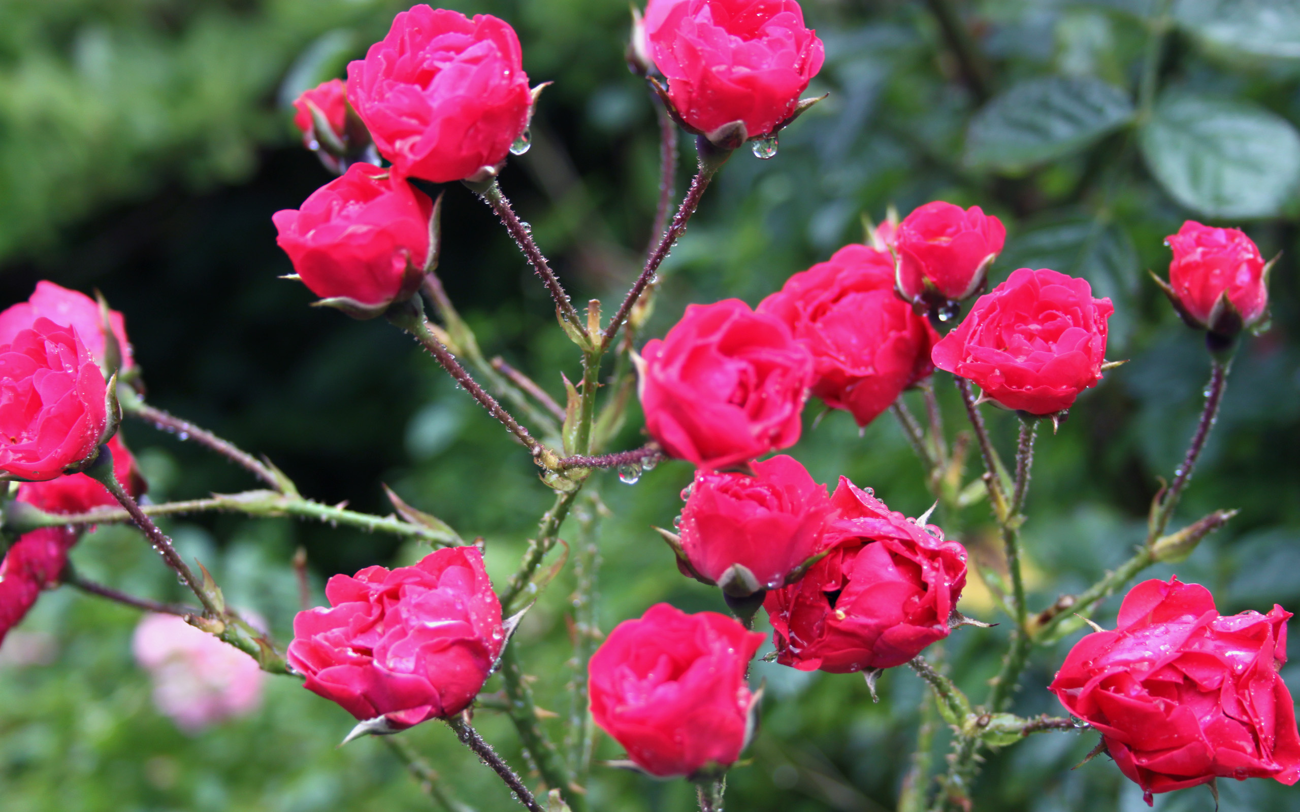 Rose bush hd wallpaper background image 2560x1600 id - Big rose flower wallpaper ...