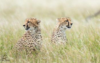 Animal - Cheetah Wallpapers and Backgrounds ID : 390808