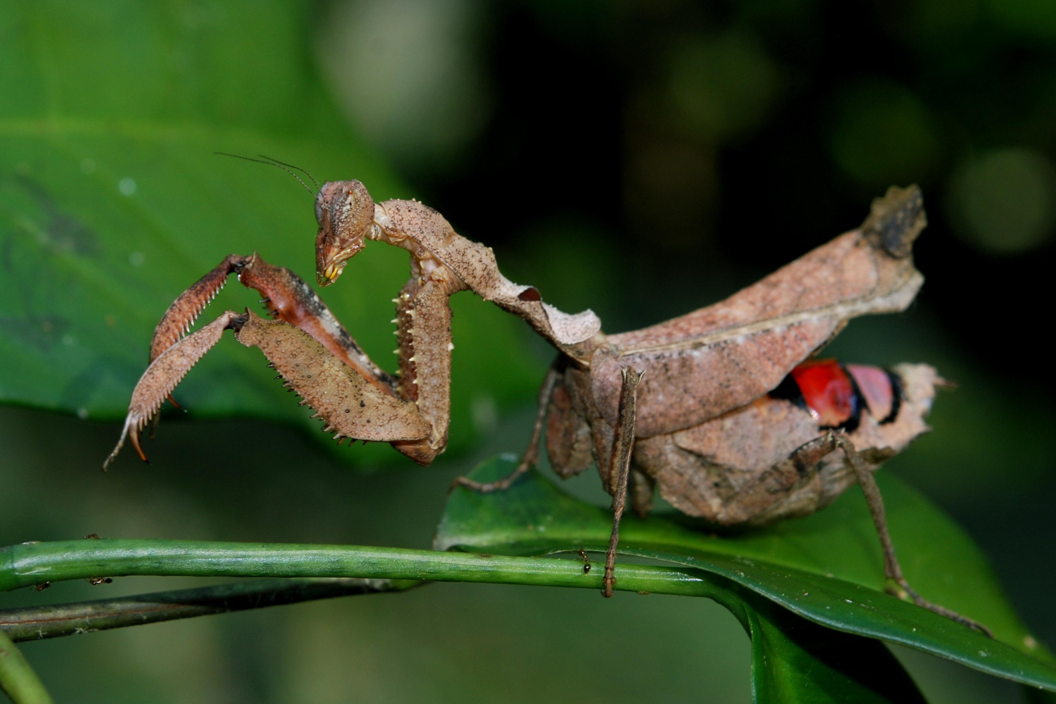 praying mantis full hd wallpaper and background image