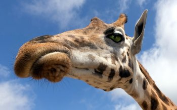 Animal - Giraffe Wallpapers and Backgrounds ID : 391390