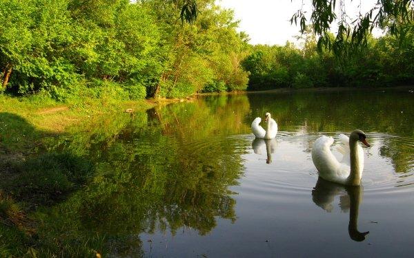 Animal Mute swan Birds Swans HD Wallpaper | Background Image