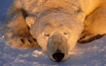 Animal - Polar Bear Wallpapers and Backgrounds ID : 392152
