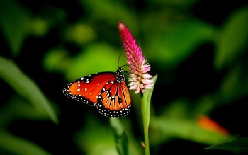 Animal - Butterfly Wallpapers and Backgrounds ID : 392487