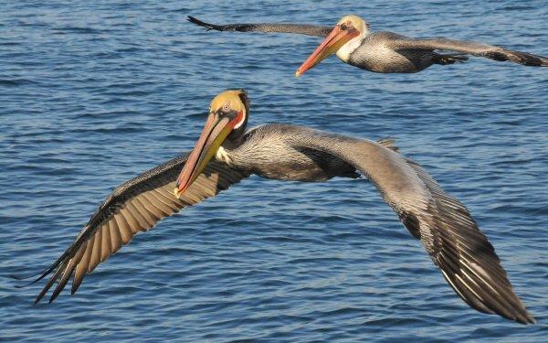 Animal Pelican Birds Pelicans California Brown Pelican HD Wallpaper | Background Image