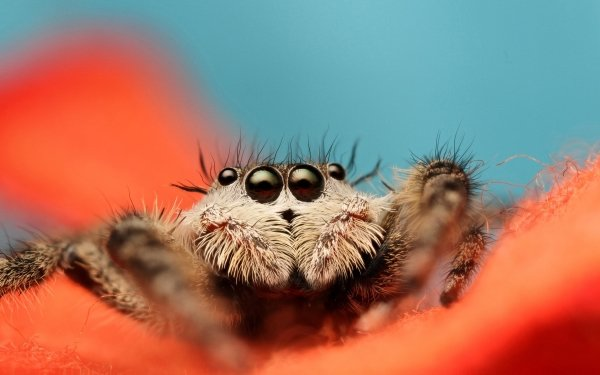 Animal Spider Spiders Jumping Spider HD Wallpaper | Background Image