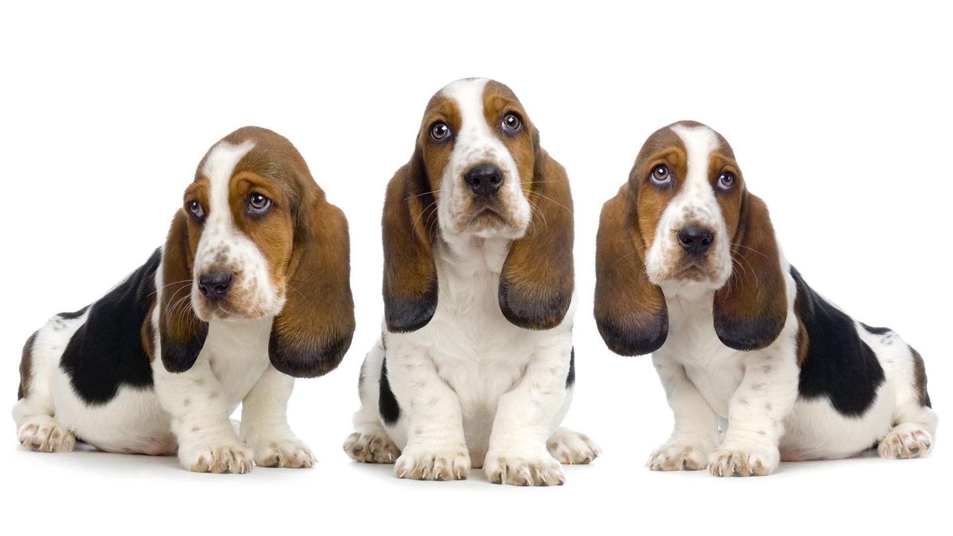 basset hound hd wallpaper background