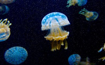 Animal - Jellyfish Wallpapers and Backgrounds ID : 394231