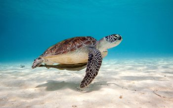 Animal - Turtle Wallpapers and Backgrounds ID : 395459