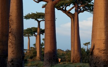 Earth - Baobab Tree Wallpapers and Backgrounds ID : 395642