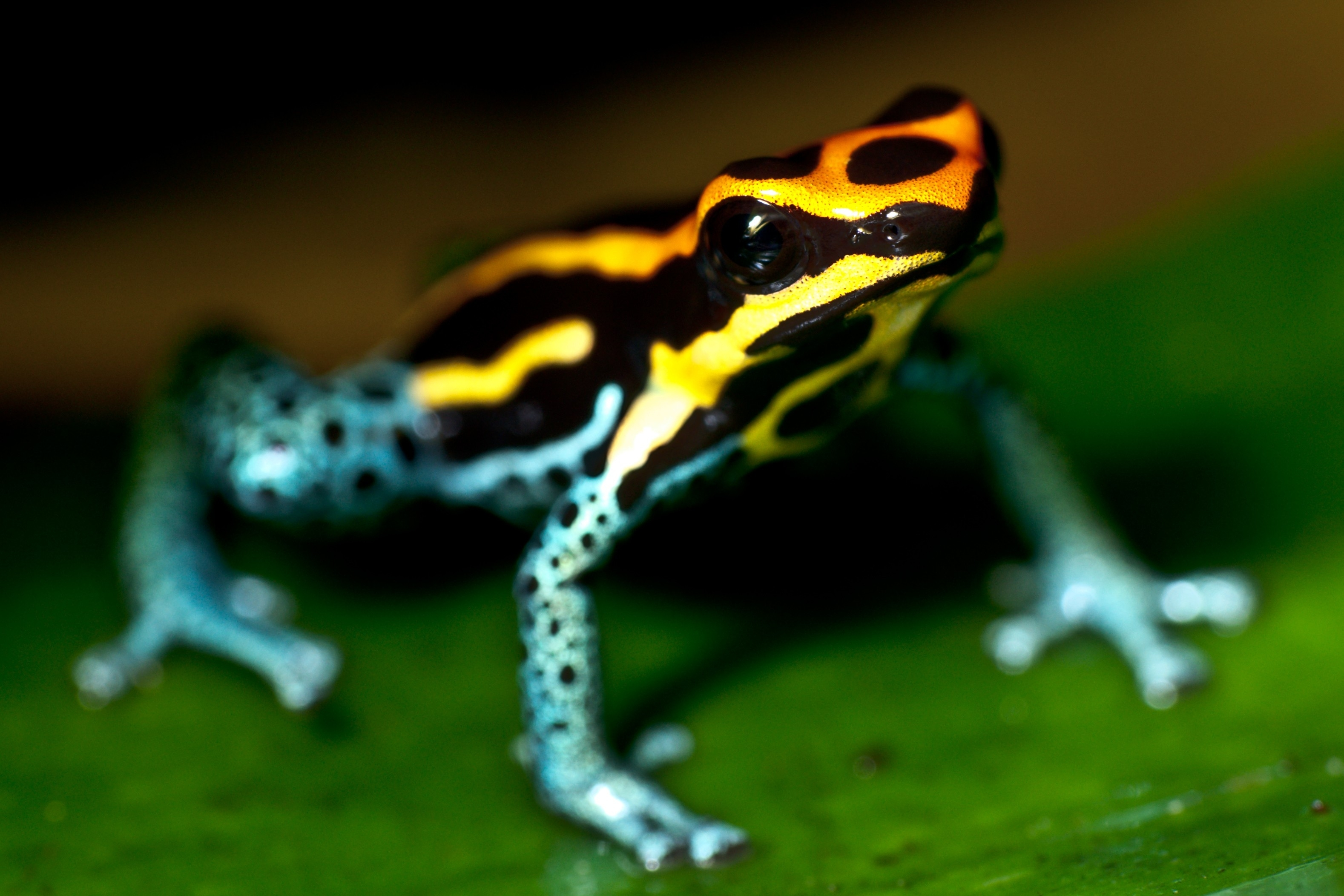 44 Poison Dart Frog HD Wallpapers | Backgrounds - Wallpaper Abyss