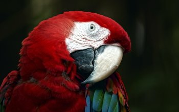Djur - Macaw Wallpapers and Backgrounds ID : 397188
