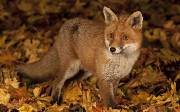 Animal - Fox Wallpapers and Backgrounds ID : 397812