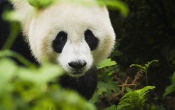 Animal - Panda Wallpapers and Backgrounds ID : 397902