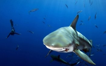 Animal - Shark Wallpapers and Backgrounds ID : 397955