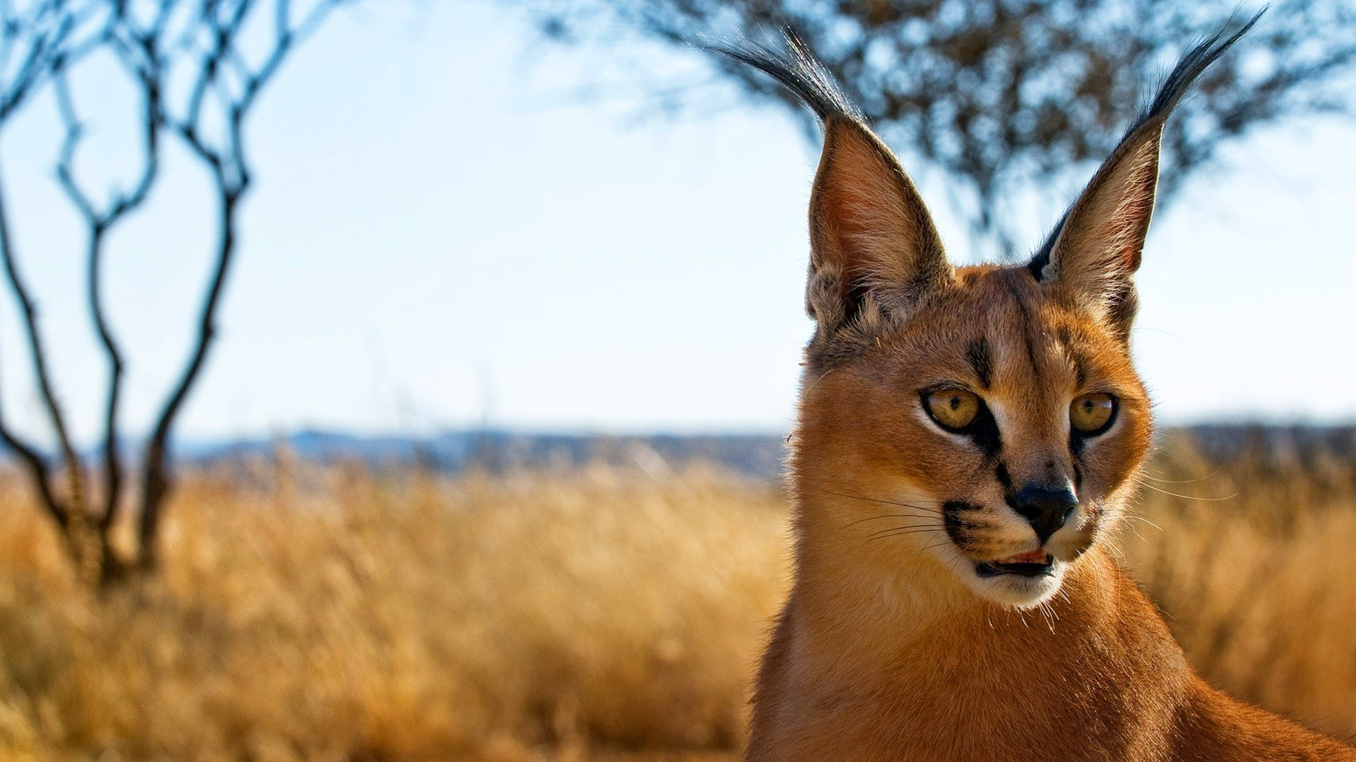 34 Caracal Hd Wallpapers Background Images Wallpaper Abyss