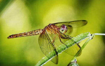 Animal - Dragonfly Wallpapers and Backgrounds ID : 398194