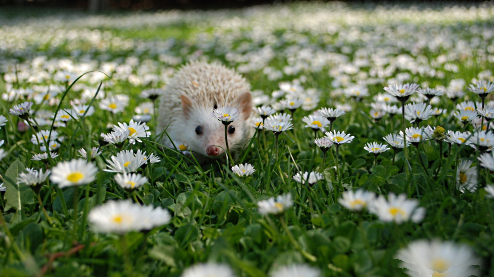 hedgehog computer wallpapers desktop backgrounds 1600x900 id