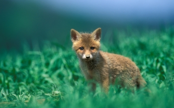 Animal - Fox Wallpapers and Backgrounds ID : 401863