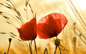 Earth - Poppy Wallpapers and Backgrounds ID : 402298