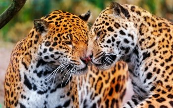 Animal - Jaguar Wallpapers and Backgrounds ID : 402517