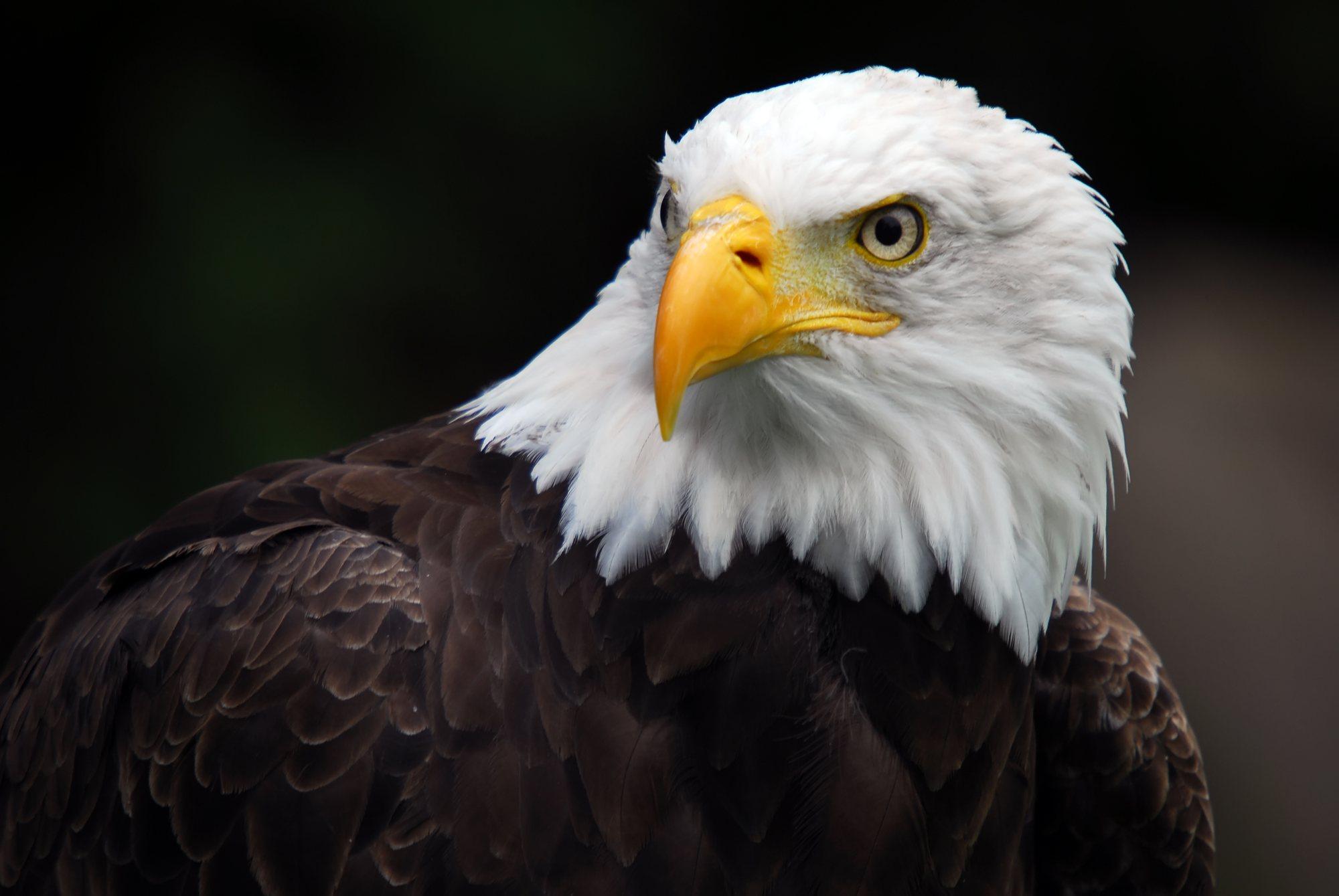 Hd wallpaper eagle - Hd Wallpaper Background Id 403514 2000x1339 Animal Bald Eagle
