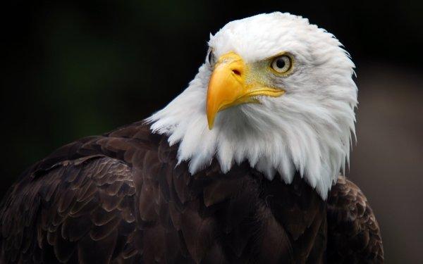 Animal Bald Eagle Birds Eagles HD Wallpaper | Background Image
