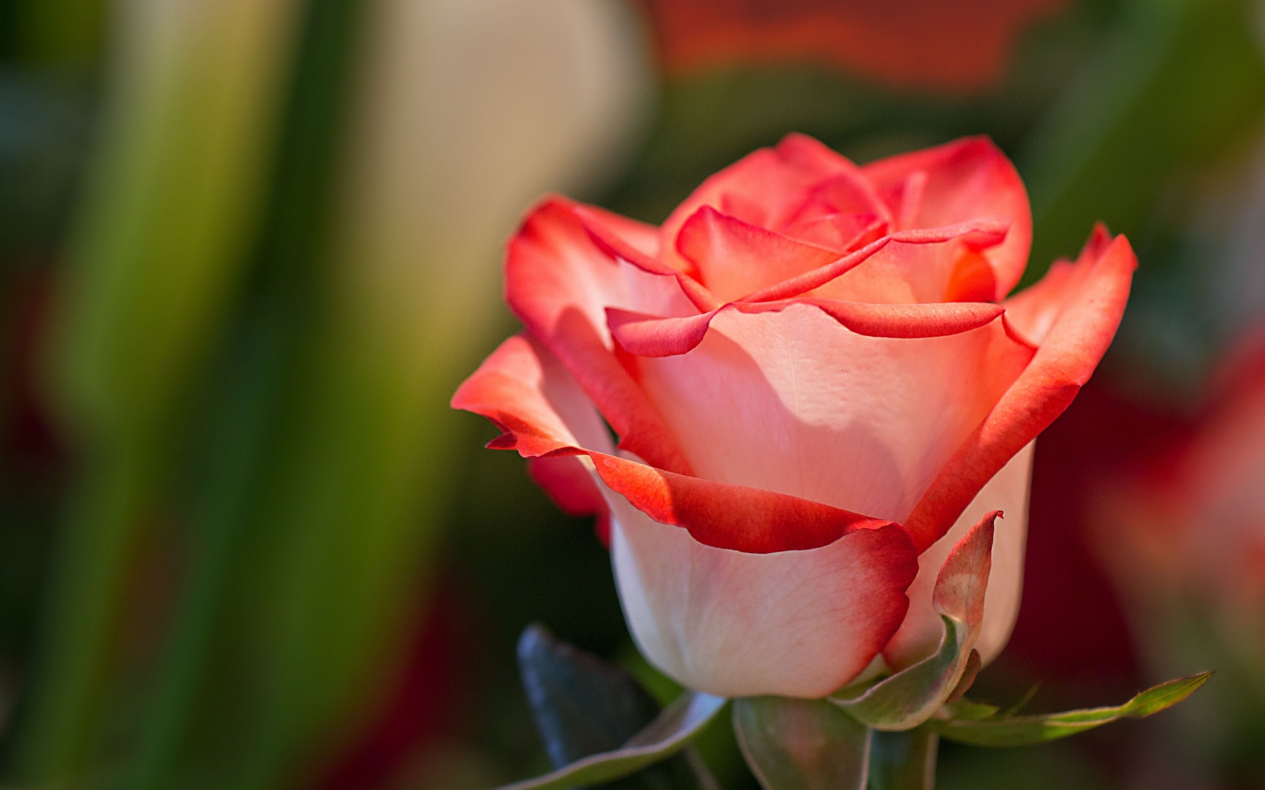 rose full hd wallpaper and background image | 2560x1600 | id:404646