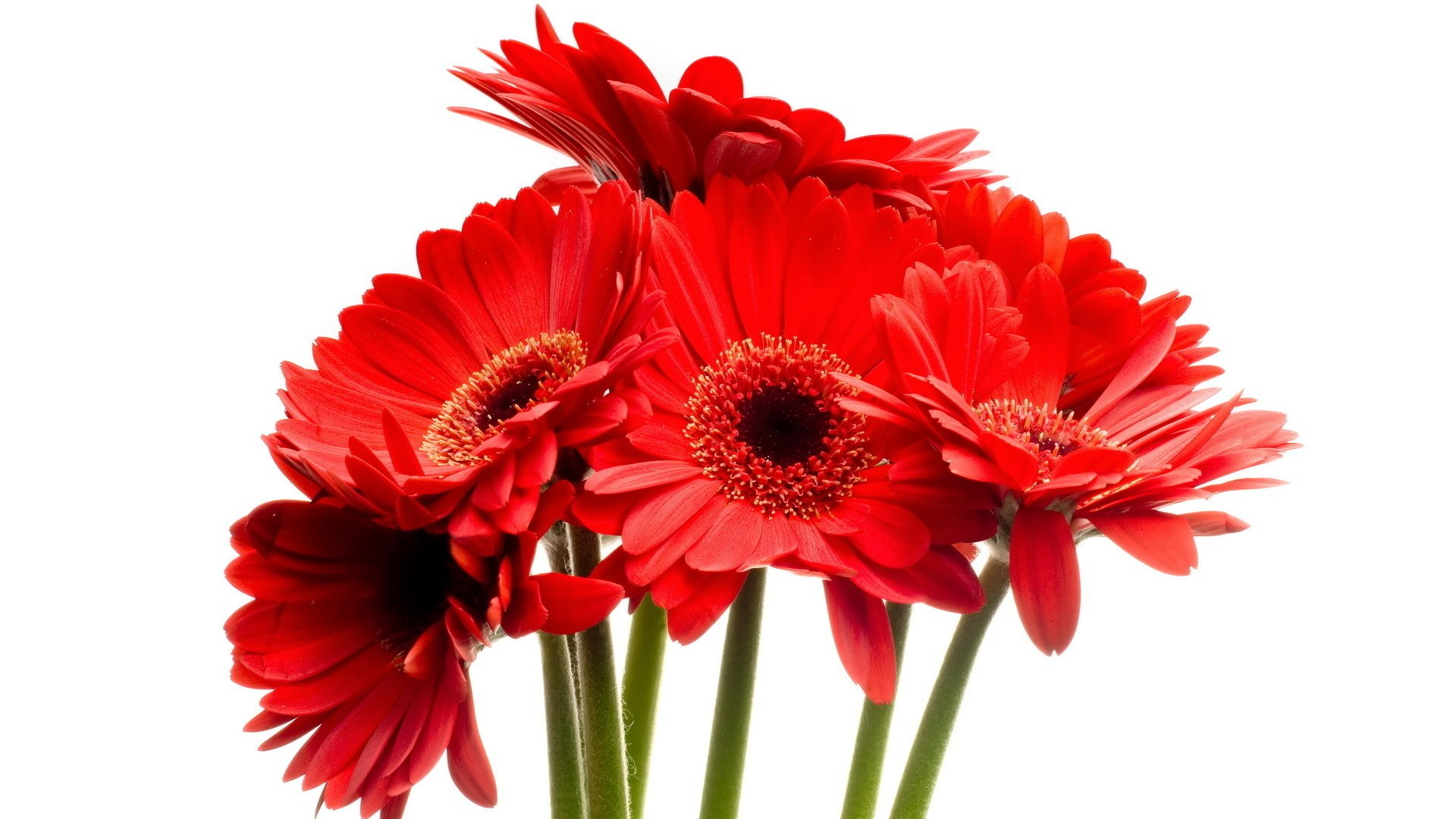 beautiful red daisy gerbera close up rose flower beautiful red