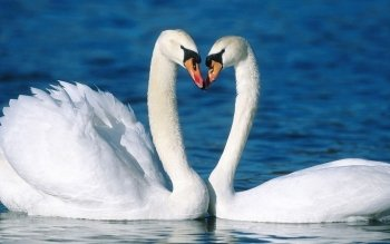 Animal - Swan Wallpapers and Backgrounds ID : 404641