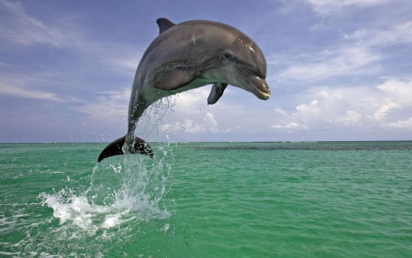 Animal - dolphin Wallpapers and Backgrounds