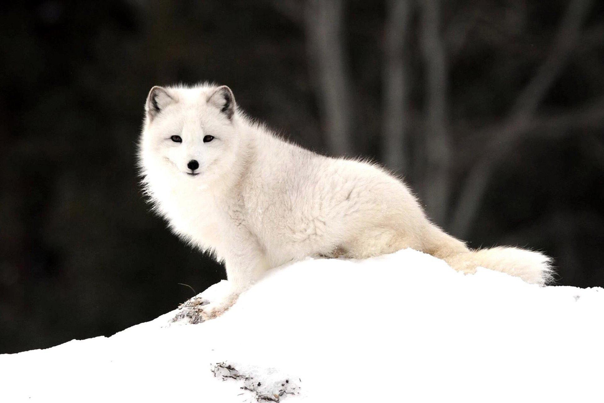 67 Arctic Fox HD Wallpapers