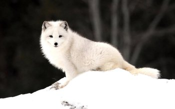 Animal - Arctic Fox Wallpapers and Backgrounds ID : 405015