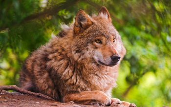 Animal - Wolf Wallpapers and Backgrounds ID : 405528