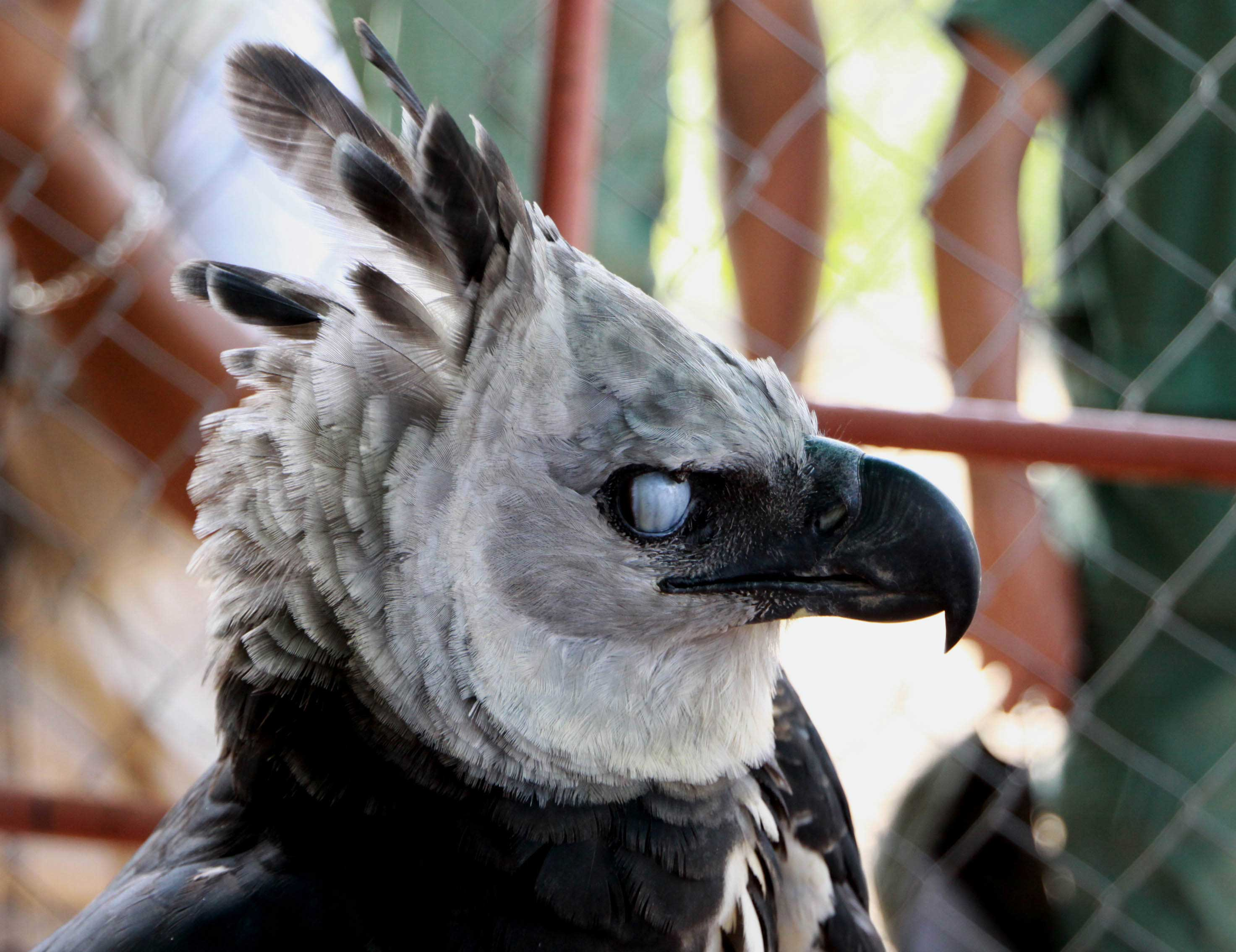 Hd wallpaper eagle - 4 Harpy Eagle Hd Wallpapers Backgrounds Wallpaper Abyss