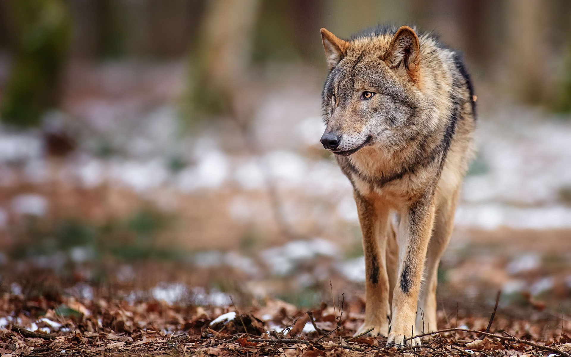 Wild Animal Wolf Wallpapers Hd 51074 Wallpaper: Wolf Full HD Wallpaper And Background Image