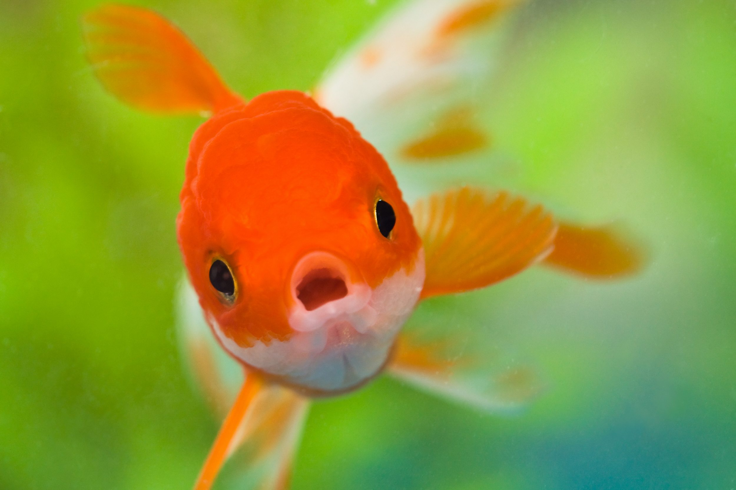 59 Goldfish HD Wallpapers